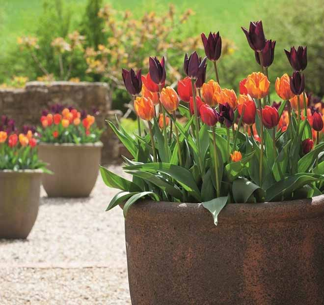 Sarah Raven eCommerce PPC case study image showing tulips in a pot